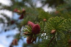 Flowerhead do abeto vermelho de Sitka Imagens de Stock