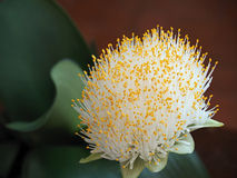 Flowerhead of the houseplant Paint Brush Royalty Free Stock Photo
