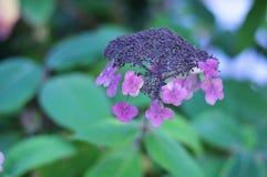 Flowerhead of a rough-textured hydrangea Stock Photo