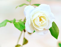Flowerhead of a white rose Stock Photography