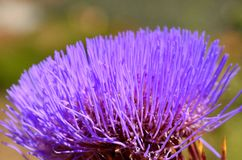 Flowerhead of wild artichoke. Artichoke flower in all its splendor Stock Photo