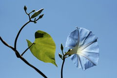 Flowerheads of celestial-blue color. Pharbitis rubro-caerulea on sky background. Flowerheads of celestial-blue color. Annual liane in height up to 5 m with very Royalty Free Stock Photo