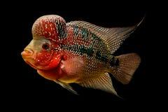 Flowerhorn是五颜六色的装饰鱼 免版税图库摄影