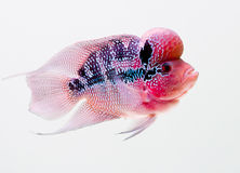 Flowerhorn Cichlid Royalty Free Stock Photos