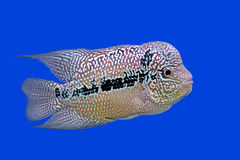 Flowerhorn cichlid or cichlasoma fish Stock Image