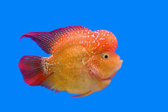 Flowerhorn cichlid or cichlasoma fish Royalty Free Stock Images