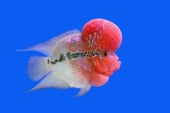 Flowerhorn cichlid or cichlasoma fish Stock Photos