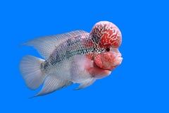 Flowerhorn cichlid or cichlasoma fish Stock Images