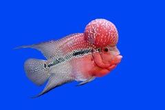 Flowerhorn cichlid or cichlasoma fish Stock Photography