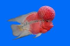 Flowerhorn cichlid eller cichlasomafisk Royaltyfri Foto