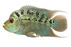 Flowerhorn cichlid fish. Flowerhorn cichlid hybrid fish isolated on white background Stock Photo