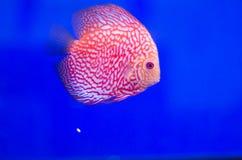 Flowerhorn Cichlid fish Royalty Free Stock Photo