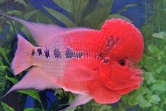 Flowerhorn cichlid fish. A beautiful aquarium fish, which is a type of flowerhorn cichlid fish, is freely swimming in water Stock Photo