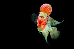 Flowerhorn Cichlid fish Royalty Free Stock Photography