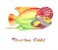 Flowerhorn cichlid fish royalty free stock photos