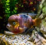 Flowerhorn cichlid hybryd, kolor mutacja, popularny zwierzę domowe w aquaculture, genetyczna manipulacja obraz royalty free