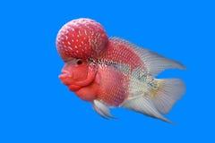 Flowerhorn cichlid lub cichlasoma ryba Fotografia Royalty Free