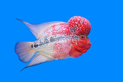 Free Flowerhorn Cichlid Or Cichlasoma Fish Stock Photos - 58505633
