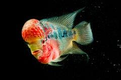Flowerhorn Cichlid ryba Fotografia Royalty Free