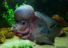 Flowerhorn cichlid ryba Obrazy Royalty Free