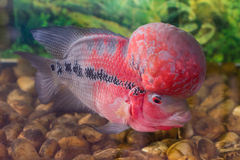 Flowerhorn cichlid Royalty Free Stock Images