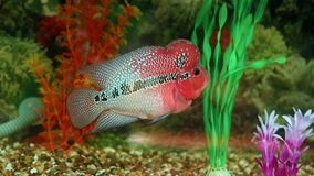 Flowerhorn Cichlid. Swims in an aquarium stock video