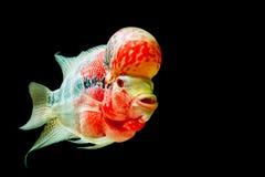Flowerhorn-Cichlidfische Stockfoto