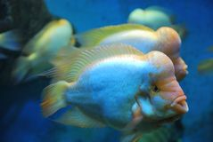 Flowerhorn cichlids Stock Photos