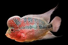 Flowerhorn est le poisson ornemental coloré photo libre de droits