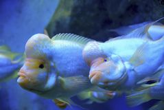 Flowerhorn fish in aquarium  Royalty Free Stock Images