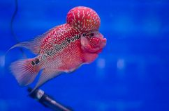 Flowerhorn fish Stock Photography