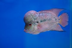 Flowerhorn fish Royalty Free Stock Image