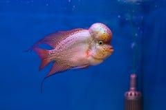 Flowerhorn Fish Stock Photos