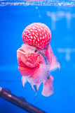 Flowerhorn fish Royalty Free Stock Images