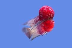Flowerhorn fish Stock Photo