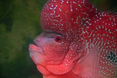 Flowerhorn fish/cichlid Stock Images
