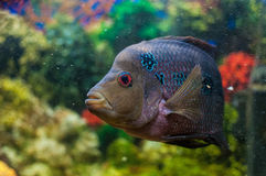 Flowerhorn. Horn frolic in the aquarium Royalty Free Stock Images