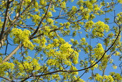 Flowerig maple. Maple branches with leaves and flowers against blue sky Royalty Free Stock Image