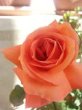Flowerin мой дом стоковые изображения rf