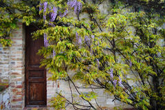 Flowering acacia on the background of the old  wall Stock Photos