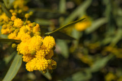 Flowering acacia branch Stock Photography