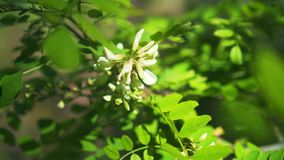 Flowering acacia tree closeup. Flowers and leaves of white acacia sway in the wind on a tree branch in the park. Beautiful spring landscape stock video footage