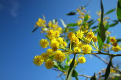 Flowering acacia. A flowering acacia tree with its bright yellow flowers stock photos