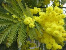 Acasia Mimosa Tree. Flowering Acasia Mimosa Tree royalty free stock photos