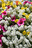 Flowering achillea and petunia Royalty Free Stock Photo