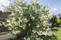 Flowering adelfas in a garden Royalty Free Stock Photos