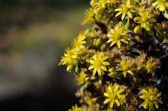 Flowering Aeonium Arboretum Schwartzkopf. Closeup color photograph Royalty Free Stock Images