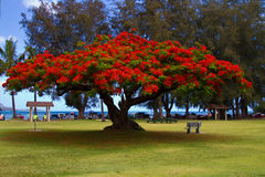 Flowering African Tulip Tree Royalty Free Stock Photography