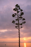 Flowering agave Royalty Free Stock Photography