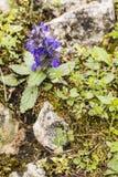 Flowering Ajuga genevensis (upright bugle, blue bugle, Geneva bugleweed). Royalty Free Stock Images